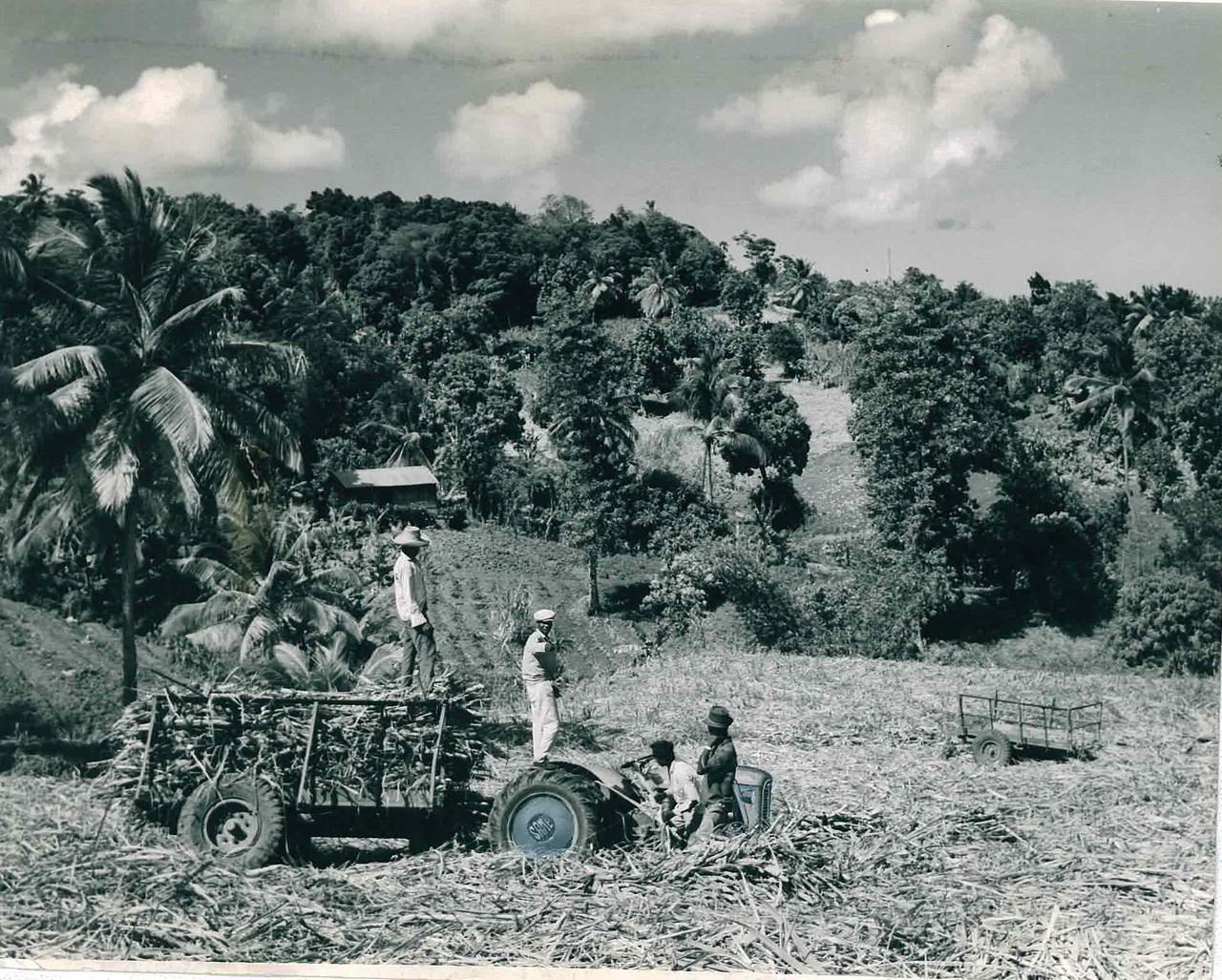 Trattori SAME 360 C durante la raccolta della canna da zucchero in Martinica